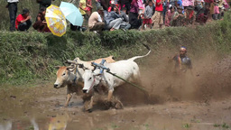 Traditional Bull Racing Through Flooded Rice Paddy stock footage