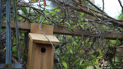 nesting titmouse pair Footage
