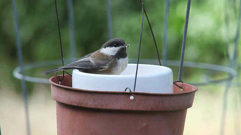 very young chickadee feeds Stock Video Footage