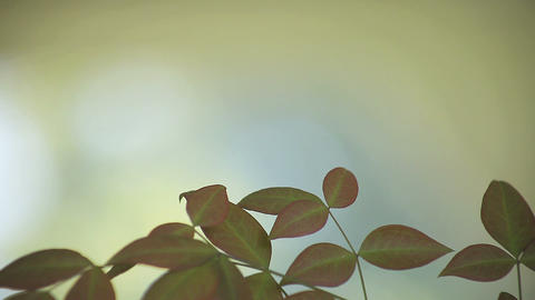 leaves of heavenly bamboo Stock Video Footage