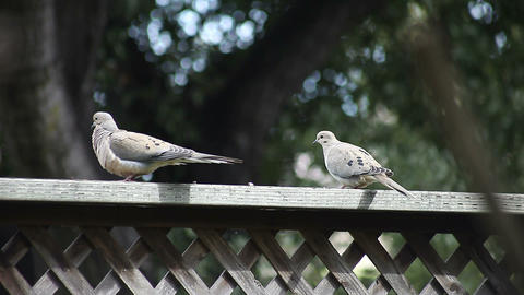 pair of doves on a fence Stock Video Footage