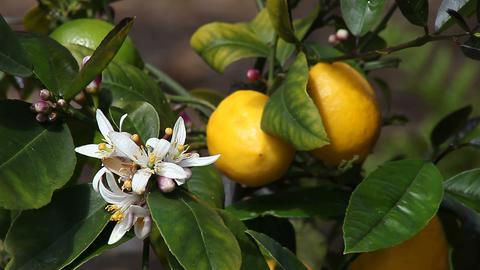 Meyer lemon tree Stock Video Footage