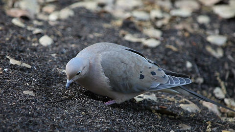 mourning dove feeding on seeds Stock Video Footage