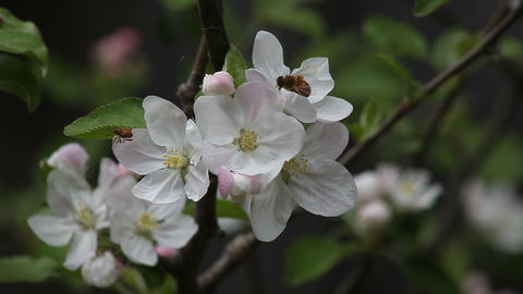 bee and beetle on apple blossoms Stock Video Footage