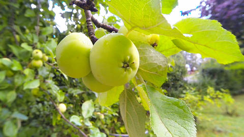 Green apples hanging on a tree in garden Live Action