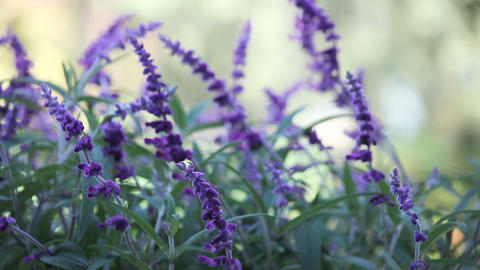 Mexican sage Stock Video Footage