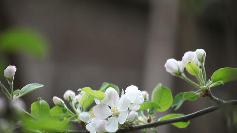 apple blossoms with copy space Stock Video Footage