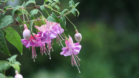 fuchsia flowers with space for text Stock Video Footage