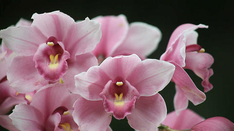 Orchids Close Up stock footage