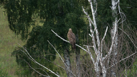 Honey buzzard , Pernis apivorus 3 Live Action