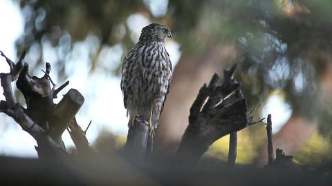 hawk in a dead tree Footage