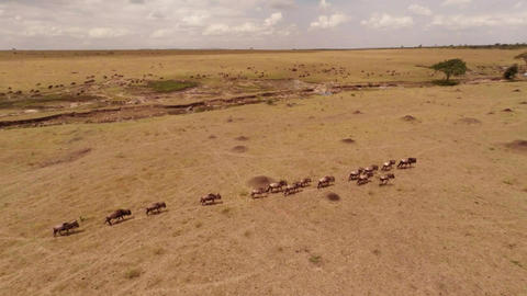 Migration of Wildebeest. Aerial Stock Video Footage