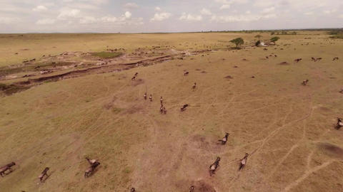 Wildebeest Mass For Mara River Crossing Footage