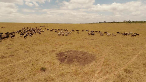 Wildebeest as seen from a quadrocopter, in Kenya Footage
