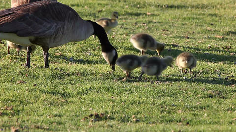 Canada Geese And Goslings stock footage