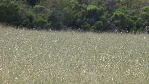 field of dry grasses Footage