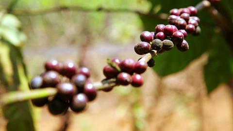 Coffee tree plantation, close up, Laos Footage