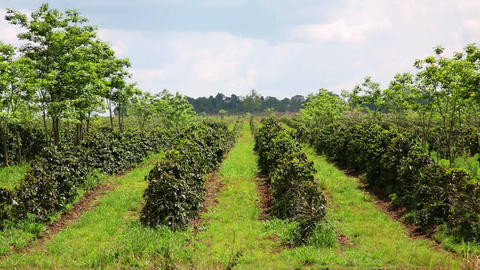 Industrial coffee tree plantation, farm, garden, L Stock Video Footage