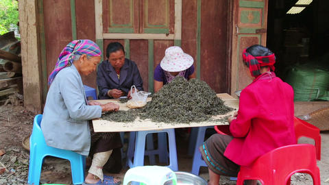PONGSALI, LAOS - APRIL 2014: woman tea workers Footage