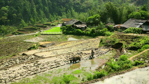 farming plowing with ox, farm in Sapa, Vietnam, pr Footage