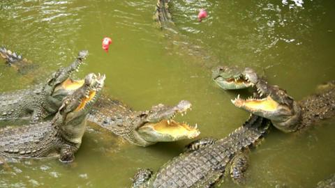 Tourist people feeding animal, Crocodile farm, vie Footage