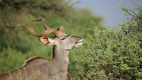 Kudu bull feeding Footage