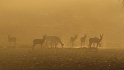 Springbok at sunrise 02 Footage
