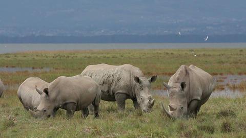 White rhinoceros feeding 06 Footage