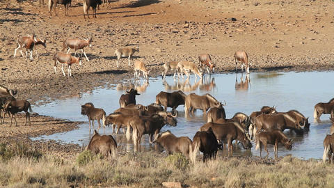Wildebeest and antelopes at a waterhole Footage