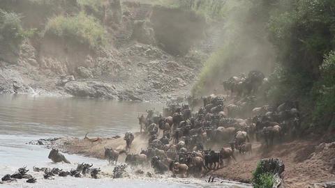 Wildebeest migration Footage