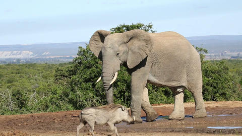 African elephant and warthog Footage
