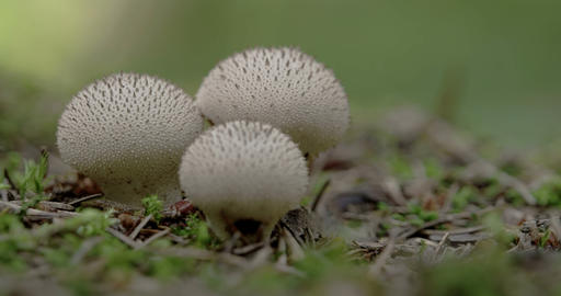 Two white warted puffball mushroom in the forest F Footage