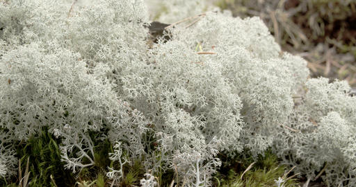 The cotton balls like cup lichen sprouting in the Stock Video Footage