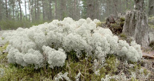 Lots of white cup lichens on the forest just like  Footage