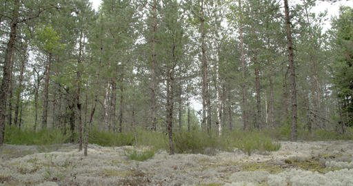 Tall pine trees surrounding lots of cup lichen on  Footage