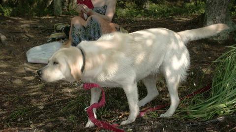 The cute Labrador retriever dog wiggling its body  Footage