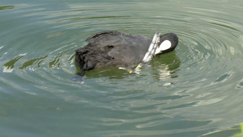 A black coot on the water looking around GH4 4K UH Footage