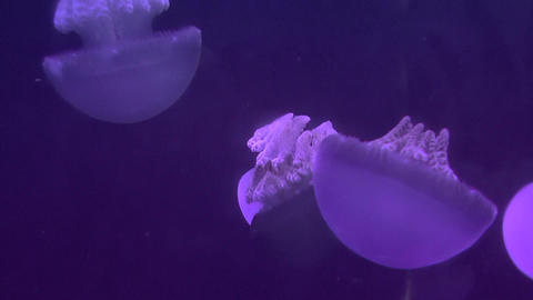 blubber jellyfish closeup Stock Video Footage