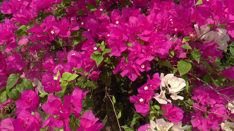 bougainvillea flowers Footage