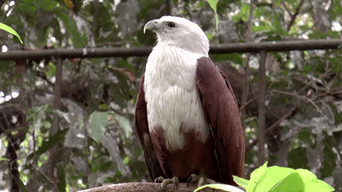 brahminy kite bird on tree branch Footage