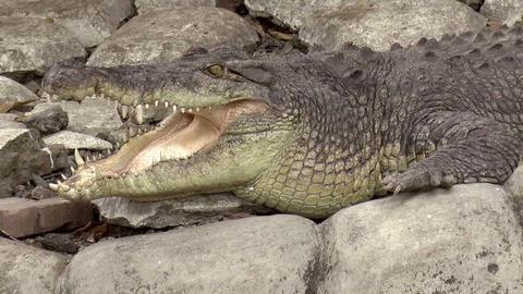 crocodile jaws open Footage