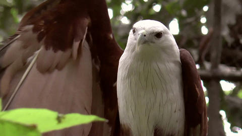 brahminy kite bird flexing Footage