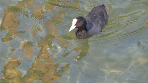 The baby black coot wiggling his head and swimming Stock Video Footage