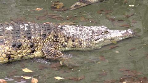 crocodile moving Footage