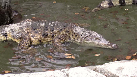crocodile moving Stock Video Footage