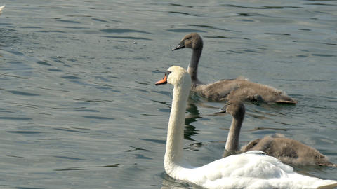 Thre long neck swan on the lake GH4 4K UHD Footage
