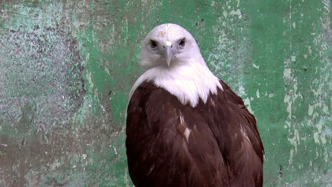 brahminy kite bird Footage