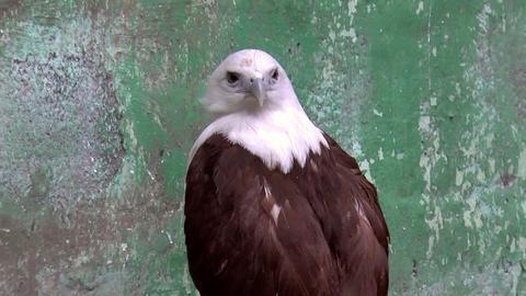 brahminy kite bird Stock Video Footage