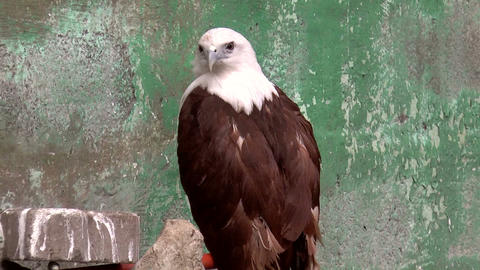 brahminy kite bird Stock Video Footage