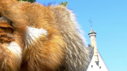 The Brown Fur Of A Viking In Estonia GH4 4K UHD stock footage